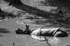 Ινδικός ρινόκερος στο νερό Στοκ εικόνα με δικαίωμα ελεύθερης χρήσης