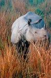 ινδικός ρινόκερος Στοκ φωτογραφία με δικαίωμα ελεύθερης χρήσης