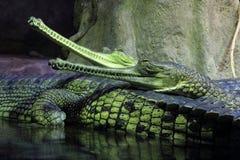 Ινδικός gavial Στοκ φωτογραφία με δικαίωμα ελεύθερης χρήσης