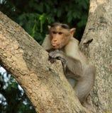 Ινδικός lungar στοκ εικόνα με δικαίωμα ελεύθερης χρήσης