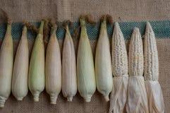 Ινδικό καλαμπόκι, αυτί ή αγροτικό μέρος 36 αραβόσιτου καλαμποκιού στοκ φωτογραφίες με δικαίωμα ελεύθερης χρήσης
