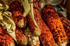 Ινδικό καλαμπόκι σε ένα απόγευμα φθινοπώρου στοκ φωτογραφίες με δικαίωμα ελεύθερης χρήσης