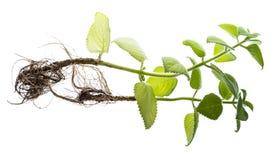 Ινδικό μποράγκο, amboinicus Plectranthus Στοκ Εικόνες