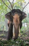 Ινδικό πορτρέτο tusker τρώγοντας στοκ φωτογραφία με δικαίωμα ελεύθερης χρήσης