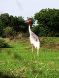Ινδικό πουλί γερανών sarus Στοκ Φωτογραφία