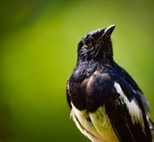 Ινδικό πουλί της Robin στοκ φωτογραφία με δικαίωμα ελεύθερης χρήσης