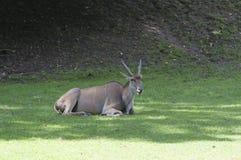 Ινδικό cervicapra Antilope blackbuck Στοκ Εικόνες