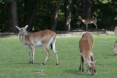 Ινδικό cervicapra Antilope blackbuck Στοκ Φωτογραφία