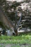 Ινδικό cervicapra Antilope blackbuck Στοκ Εικόνα
