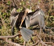 ινδικό melanogaster anhinga darter Στοκ εικόνα με δικαίωμα ελεύθερης χρήσης