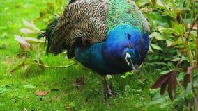 Ινδικό peacock στο φυσικό περιβάλλον που τρώει τη βοσκή στη χλόη απόθεμα βίντεο