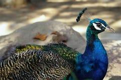 ινδικό peacock Στοκ εικόνα με δικαίωμα ελεύθερης χρήσης