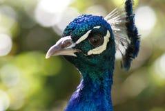 ινδικό peafowl Στοκ Εικόνες
