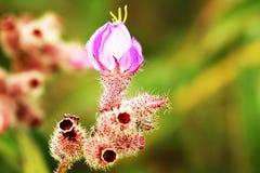 Ινδικό Rhododendron, Malabar Melastome στοκ φωτογραφία με δικαίωμα ελεύθερης χρήσης