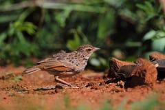 Ινδοκινέζικο Bushlark στοκ εικόνες