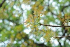 16-04-2018 Ινδονησία, φύλλα του macrophlla swietenia και του δέντρου ουρανού Στοκ Εικόνες