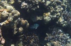 Ινδός καταπίνει τα ψάρια στα κοράλλια στοκ φωτογραφίες