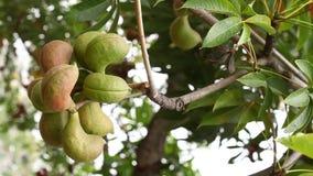 Ινδικά εμποτισμένα Ayurveda φρούτα απόθεμα βίντεο