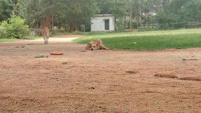 Ινδικά σκυλιά Στοκ Εικόνες