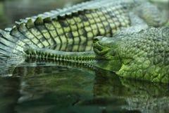 Ινδικά gavials Στοκ Εικόνες