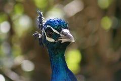 Ινδικά Peafowl - Pavo Cristatus Στοκ φωτογραφία με δικαίωμα ελεύθερης χρήσης