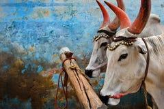 Ινδικές αγελάδες Στοκ Εικόνα
