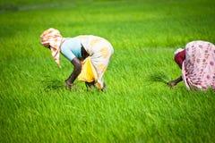 Ινδικές εργασίες γυναικών στον τομέα ρυζιού Στοκ Εικόνες