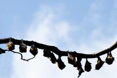 Ινδικές πετώντας αλεπούδες - Σρι Λάνκα Στοκ φωτογραφία με δικαίωμα ελεύθερης χρήσης