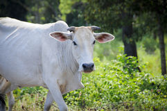 Ινδική αγελάδα Στοκ Εικόνες