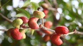 Ινδική εμποτισμένη Ayurveda κινηματογράφηση σε πρώτο πλάνο φρούτων φιλμ μικρού μήκους