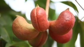 Ινδική εμποτισμένη Ayurveda κινηματογράφηση σε πρώτο πλάνο φρούτων απόθεμα βίντεο