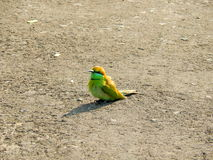 Ινδική ζωηρόχρωμη συνεδρίαση πουλιών στη στέγη Στοκ φωτογραφία με δικαίωμα ελεύθερης χρήσης