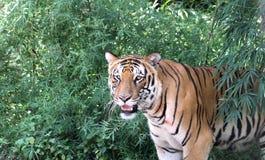 Ινδική τίγρη της Βεγγάλης Στοκ Εικόνα