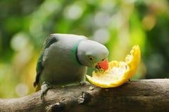 Ινδικός δαχτυλίδι-necked parakeet, ζωολογικός κήπος της Αδελαΐδα, Νότια Αυστραλία Στοκ εικόνες με δικαίωμα ελεύθερης χρήσης