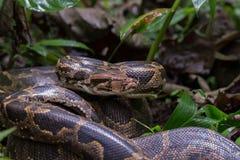 ινδικός βράχος python Στοκ εικόνα με δικαίωμα ελεύθερης χρήσης