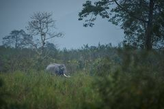 Ινδικός ελέφαντας της Νίκαιας στο βιότοπο φύσης του εθνικού πάρκου Kaziranga Στοκ Φωτογραφία