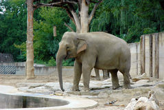 Ινδικός ελέφαντας Στοκ εικόνες με δικαίωμα ελεύθερης χρήσης