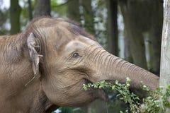 Ινδικός ελέφαντας Στοκ Εικόνα