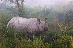 Ινδικός διακυβευμένος ρινόκερος σε Kaziranga εθνικό Parc Στοκ εικόνες με δικαίωμα ελεύθερης χρήσης