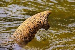 Ινδικός κορμός ελεφάντων που προεξέχει από τον ποταμό, Sumatra, Ινδονησία στοκ εικόνα με δικαίωμα ελεύθερης χρήσης