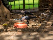 Ινδικός κόρακας Στοκ Φωτογραφία