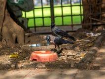 Ινδικός κόρακας Στοκ Εικόνες