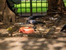 Ινδικός κόρακας Στοκ εικόνες με δικαίωμα ελεύθερης χρήσης
