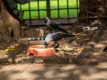 Ινδικός κόρακας Στοκ εικόνα με δικαίωμα ελεύθερης χρήσης