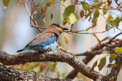 Ινδικός κύλινδρος του μπλε Jay Στοκ φωτογραφίες με δικαίωμα ελεύθερης χρήσης