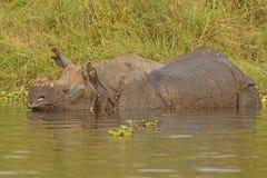Ινδικός ρινόκερος σε έναν ποταμό Στοκ εικόνες με δικαίωμα ελεύθερης χρήσης