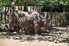 ινδικός ρινόκερος Στοκ Εικόνα