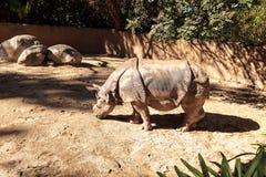 Ινδικός ρινόκερος, unicornis ρινοκέρων Στοκ Εικόνες