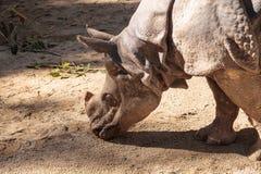 Ινδικός ρινόκερος, unicornis ρινοκέρων Στοκ Φωτογραφίες