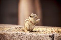 Ινδικός σκίουρος - Δελχί Στοκ εικόνες με δικαίωμα ελεύθερης χρήσης